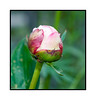 Peony bud with ant - I've tried many times to photograph ants and have had little success.  I think it is because their bodies are mostly very shiny....they reflect the light so much.  Anyway, this is the best I've ever done with an ant and I like the bud, as well.  Hope you like it, too.  Be sure to look at it in the largest sizes to see the detail.  We're still in our every day some rain must fall pattern, but since we normally are very dry, we really cannot complain.  Hope everyone has a good start to the week!