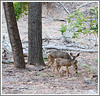 Day 24 - A doe and her fawn in Zion National Park; the deer are extremely skinny --- don't look very healthy