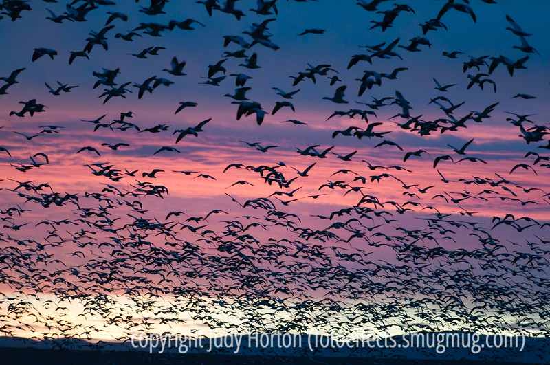 "The morning flyout of snow geese at Bosque del Apache National Wildlife Refuge in NM.  This is actually a tiny proportion of the snow geese that were part of the main flyout.  When that happens, the sky is pretty much covered totally with birds.  There are some shots of that in my ""Birds"" gallery.  They're not as interesting as photos, but they are pretty interesting in terms of understanding the flyout event.<br /> <br /> I was amazed by your response to my shot of the cookware with the reflections.  Some of you wondered where I was, since I didn't show up much in the reflections.  I was off a bit to the side.  Unfortunately, that nice cookware is not mine.  I took the shot at Williams Sonoma.<br /> <br /> Hope your week started well and that you have a great day!"
