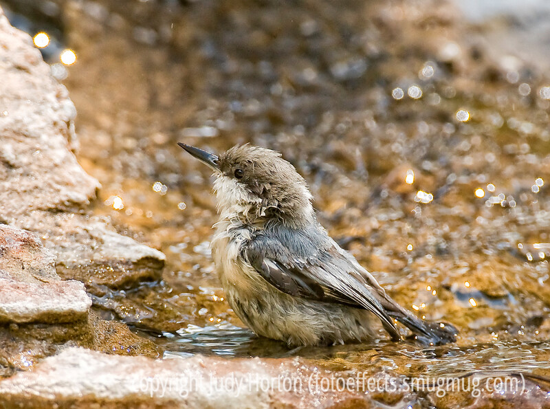 """Pygmy nuthatch taking a bath; best viewed in the largest size<br /> <br /> I spent a couple of hours today waiting for trains to come by and then trying to get some good panning shots.  Not much luck, however.  Then, I spent most of the afternoon processing my pics from the Denver Botanic Garden, which I have finally uploaded to my """"Flora and Fauna"""" directory, under """"Flowers.""""  <br /> <br /> Hope some good things happen to you today!"""