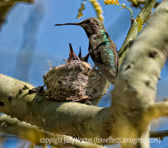 A hummingbird with her babies in the nest; note the poop on the branch.  She has removed it from the nest.  This photo is best viewed in the largest sizes.  There were three babies in the nest but you can only see two of them here.  There were tons of little branches all around and in front of the nest, so it was difficult to get a clear shot.  Definitely needs to be viewed in the largest sizes.<br /> <br /> Thanks for the supportive comments on the shot of the glass vase in front of the window.  Very encouraging.  My hubby and I went to a funeral at the Air Force Academy for one of Phil's classmates in his Academy squadron.  He was a general and so there was even a fly-by in the missing man formation at the cemetery.  I took a few pics and hope to have a decent one of the fly-by and some of the chapel at the Academy.  A sad reason to go there, though.   Have a great day.