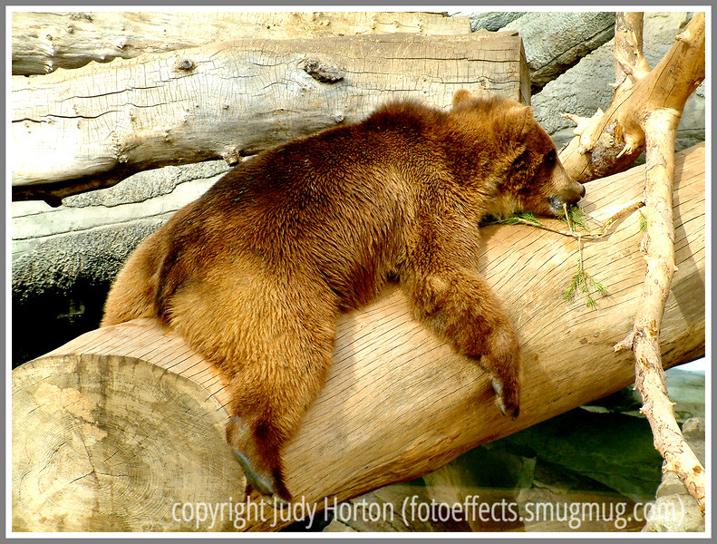 Day 32 - A lazy bear is resting but eating at the same time, photographed at the Denver Zoo.