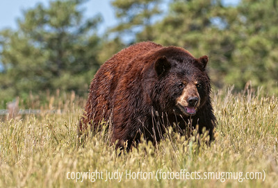 8/19/12 - Black bear; best viewed in the largest sizes.  Photographed at Bear Country, SD.  When I took this shot, there were probably about forty bears within the range of my camera.  They were all moving around.  It was a hot day; this one has just gotten himself wet down by a hose. I found the bears to be difficult to shoot, as their faces were so dark.  I had to use the exposure compensation to lighten the face enough to pull out the detail there.  Thanks for the comments on my daughter's cat.  Much appreciated.  Constructive criticism is always welcome.