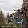 Crecopia Moth on one of the pillars of the Roosevelt Lodge in Yellowstone National Park.  Definitely needs to be viewed in the largest sizes.  Its body and even its wings seemed to be covered in hairs.  According to my book, crecopia moths are not found in that part of the country, but he was there!  It was quite a cold day and the moth seemed to be unwilling to move.  I suspect it needed warmer temps or, perhaps, it had just emerged from its cocoon.<br /> <br /> It was great to read all your comments on my shot of Lewis Lake in Yellowstone.  Some of you asked if the forest shown was one that had burned and was now regenerating itself.  It is part of the forest that burned in the huge fires in 1988.  Since 2/3 of Yellowstone burned at that time, these areas were everywhere.  Many now have trees that are about 20 feet tall, both aspen and lodgepole pine.  <br /> <br /> Hope you are having a good weekend!