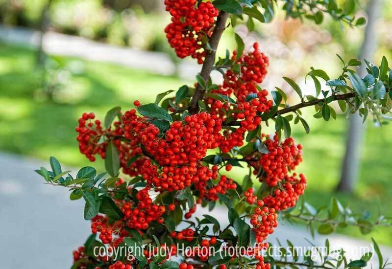 Pyracantha berries - pyracantha bushes always outdo themselves in their production of berries.  They are hard to beat!  Best viewed in the larger sizes<br /> <br /> Thanks for your comments on my shot of the corn. <br /> <br /> Have a lovely day!