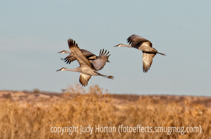 """Sandhill cranes flying over Bosque del Apache National Wildlife Refuge in NM; best viewed in the largest sizes<br /> <br /> Thanks to all of you who commented on my shot of the synchronized snow geese.  I think you may be right; it will show up as an Olympic event soon....synchronized flying!<br /> <br /> Hope you are having a good weekend.  I think we're going to see the """"King's Speech"""" tomorrow."""