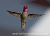Hummingbird - I am a bit ambivalent about this shot because the hummer's iridescence is just SOOO high voltage, but I decided that maybe it was worth featuring as a daily.  This is best viewed in the largest sizes.  Quite a lot of you are wondering about the shutter speed.  It is 1/1600 sec.  I've found I can usually freeze hummers at about 1/1200 sec. or faster.  I bumped the speed up on this day because it was exceptionally bright and sunny!  Thanks to all of you who commented on my shot of the white cactus flower.  Much of the snow melted today, although it kept on snowing until about 11 a.m.  The wedding shoot went well, I think, although I've not yet looked closely at the images.  They'll keep me busy processing for several weeks.  Hope every has a chance to get outside and enjoy nicer weather today!