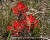 Indian paintbrush blooming in a meadow near the Cache le Poudre River in Colorado; best viewed in the largest sizes.<br /> <br /> Thanks so much for your comments on my shot of the bees.  You guys are too kind!<br /> <br /> Have a great day!