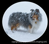 Willoughby in his element!  Willoughby, our blue merle sheltie, loves the snow.  He never seems to get cold, no matter how long he stays out.  Today is supposed to be warm here, so we're expecting most of the snow to melt.  Our daughter and her family are still without power, though.  They bought a small generator today so they could run a few appliances.  Thanks for the comments on my roseate spoonbill.  Take care, everyone, and best wishes especially to Betsy.  Get well soon!