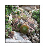 Hen and chicks; view in the largest sizes to see the detail.<br /> <br /> It was a very nice Thanksgiving day at my daughters, but I find that overeating makes me pretty tired.  Enjoy your long weekend!