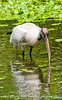 Wood stork at Corkscrew Sanctuary in Florida; best viewed in the largest size.  Vandana's photo of the woodstork reminded me of this reprocessed Everglades shot and I liked the reflection and the patterns in the water, so thought I'd use it for my daily today.<br /> <br /> Thanks so much for your encouragement on my shot of the sunset reflection in the windows.<br /> <br /> Enjoy your day!  We're supposed to get a bit of snow.