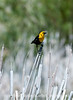 A yellow-headed blackbird, photographed near the town of Walden, Colorado; best viewed in the largest size.<br /> <br /> I appreciate everyone who stopped to comment on my shot of the Cache le Poudre River.  Hope your week got off to a good start.