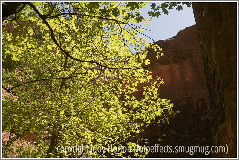 Day 70 - The afternoon sun shines through the leaves on a maple tree in Zion National Park in Utah.  It is cold, windy and dreary here and I've been running errands all day, so I'm posting this shot from my Zion National Park gallery (under landscapes).  The sun shining through the leaves of the maple makes me long for spring.