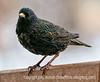 Starling - taken quite a long time ago and just discovered today as I was archiving shots to DVDs.<br /> <br /> Thanks for the response to my shot in the dentist's chair.  I think it was Hilary who did a similar shot some time ago.  I liked her shot a lot and decided to try to take one the next time I visited the dentist.  I did ask permission before I took the shot.  She was pretty surprised when I got out my camera and pointed it up at her.  I'm going to print out a copy and take it in the next time I have to visit the dentist, which is, hopefully, some months away.<br /> <br /> Hope your weekend gives you all a chance to relax and have some fun!  I'm still processing ballet shots and hope to finish over the weekend.