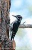 Downy woodpecker; best viewed in the largest size. I was reading on the deck and this fella made an appearance.  Usually, when I try to capture this species, they seem to be in dark shadow but this time the conditions were a bit better.<br /> <br /> Thanks for all the nice comments on my shot at the Broadmoor.  Much appreciated.  Hope you enjoyed your weekend and that the week gets off to a good start for you.