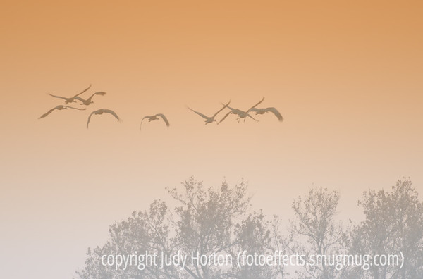 Sandhill cranes flying in the early morning at Bosque del Apache National Wildlife Refuge in NM.  Thank you all for your positive comments on my sunrise shot of the snow geese.  Really made my day!  Hope you are all enjoying your weekend!