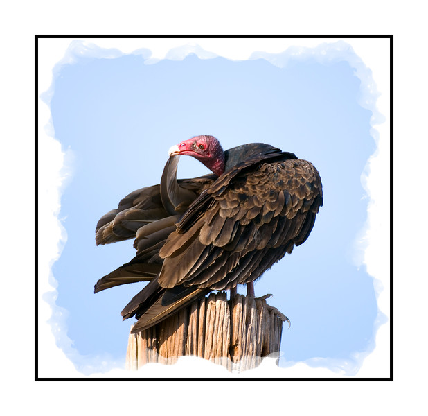 I photographed this turkey vulture in Big Bend National Park in extreme south Texas on our recent trip.  I stayed on my knees for about an hour photographing this vulture and another on a nearby telephone pole.  I believe this one was the female.  She meticulously groomed every single feather on her body...one at a time!  She did every feather the way she is doing this one, running her beak along its length.   Look at this image in the largest sizes and you'll see some marks on her feathers.  I'm not sure if they are parasites or something else.  Her feathers were, on the whole, gorgeous and I think even her head is not ugly like many people think. You can see the little hairs on her head.  The other vulture did some grooming, as well, but he was not nearly as meticulous and some of his feathers were pretty ratty.  I wanted to get the vultures taking off and by the time I finally got those shots, my legs were shaking, as were my arms from holding my position for such a long time.  I shot this with my 200 - 400mm lens and it is a big sucker to handle.   I'm going to post a bit early, as my sciatica is killing me.  It is great to be back posting and looking at all your wonderful images.  Hope your weekend is terrific.  Tomorrow we'll have to dig out from our recent blizzard.  Hoping the sun melts a lot of it.
