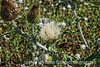 This white thistle is native to Colorado.  View in the largest sizes to appreciate the detail in the flower.