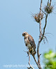 Red-shouldered hawk at Corkscrew Sanctuary in Florida; best viewed in the largest size; this was taken from, perhaps, 1/4 mile away so has been pretty severely cropped.<br /> <br /> Thanks to those who commented on my latest window reflection shot; much appreciated.<br /> <br /> Hope your weekend was a fine one!