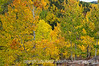 Aspen in autumn in Colorado; best viewed in the largest sizes.  I like the variety of colors in this photo and the detail of the leaves you can see in the largest sizes.<br /> <br /> Thanks for your comments on my other shot of autumn color in Colorado.  Another winter storm is coming through tonight.  Doesn't sound like we'll get too much snow but there will be very strong winds.<br /> <br /> Hope you are enjoying better weather and that the folks without power in the east get it back today!