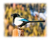 Day 124 - A black-billed magpie, photographed in Estes Park, Colorado; detail is best viewed in a larger size.  We have lots of these magpies at our home in Colorado Springs and I have tried many times unsuccessfully to capture  a good shot of them.  They are extremely skittish and nervous and don't stay in one spot for more than a second or two.  Also, the black is so dark that is difficult to capture the colors faithfully.  In Rocky Mountain National Park I was taking a photo of the mountain when I noticed a number of black-billed magpies flying around and talking to one another.  They did not seem bothered by my presence and I finally got a few decent shots of them.  Hope you all had a nice Valentine's Day.  Thanks for all your comments on my Valentine rose.  I had a great time looking at all your contributions and a lot of them were stunning, creative and wonderfully captured.  Hope your Sunday is nice.