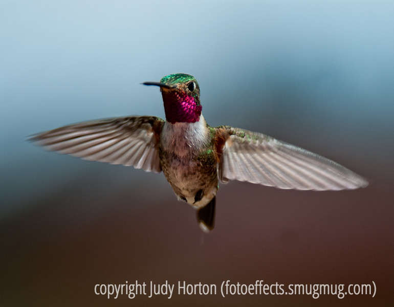 "A ruby-throated hummingbird; best viewed in the larger sizes.  We're back from our camping trip to Southern Colorado.  I always carry hummingbird food and a feeder and I set one up at the campground and almost immediately the hummers began coming.  We camped at Teal Campground in the San Juan Mts.  Really a gorgeous place!<br /> <br /> After I left, Ed Spadoni posted an interview with me on his ""2 Guys Photo Blog.""  I'm very honored to be featured on Ed's blog.  Many of you have already seen the interview and photos, but, if you haven't, this is the link:  <a href=""http://2guysphoto.wordpress.com/2011/07/06/judy-horton-looking-for-challenges/"">http://2guysphoto.wordpress.com/2011/07/06/judy-horton-looking-for-challenges/</a>.<br /> <br /> Hope you folks had a great weekend!"