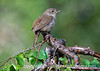 A house wren, sitting on a weeping birch; best viewed in the largest sizes.  This little fellow and his mate are nesting in a wren house we've had hanging for the past six years.  Until this year, we never had any bird nest in the house and we had never seen a wren in Colorado.  His singing is wonderful!<br /> <br /> Thanks for the comments on my macro of the waterstrider.  They are the bugs you see walking across water.  Some inspirational shots on smugmug today, as always.  Hope you enjoy your Wednesday!