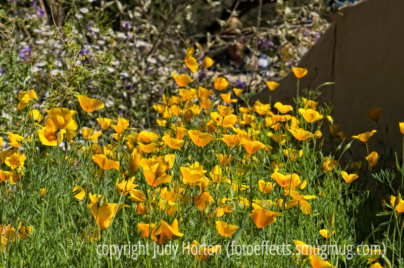 California poppies; this image needs to be viewed in the larger sizes<br /> <br /> Thanks to everyone who commented on my black and white shot of the yucca.  I'm feeling much better, but still a bit rocky.  Lots of wonderful pics on smugmug today.  Hope everyone's week gets off to a good start.