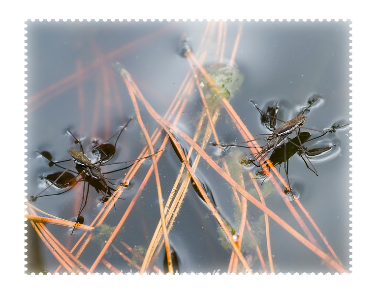 Waterstrider Romance!  Two sets of waterstriders conduct a romance in my small pond.  The orangey things are pine needles --- the scourge of our pond.  This image really has to be viewed in the largest sizes to see the details of the waterstriders.  Great bunch of photos today.  I'm looking forward to what everyone puts up for Monday.
