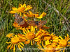 Butterflies on wildflowers at Teal Campground in southern Colorado; best viewed in the largest size.  Judith Sparhawk has identified the butterflies for me as variable checkerspots.  At first, I thought these wildflowers were  Arrowroot balsam, but the leaves look different, so I'm going to have to do a bit more research on them.<br /> <br /> Gosh, thanks so much for your wonderful response to my shot of the hummer!  Really made my day!<br /> <br /> Thunderstorms are rattling through here tonight.  Hope you are having good weather and enjoy your day!