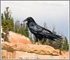 Day 25 - The raven is the most ubiquitous bird in Bryce National Park; you see them everywhere, mostly scavenging from automobile grills and license plates.  They are beautiful birds, though.  This image is best viewed in a larger size.  If you look at it in the X3 size, you can see the hairs on the bottom of his beak and other great details.