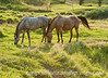8/11/12 - Horses in the late evening light; best viewed in the largest size.  I took this a few weeks ago in South Dakota and intended to use it as a daily and then forgot about it.  We were out for a bike ride and I saw these horses, so I rode back to the RV and got my camera and walked back.  I've seen other folks images of horses with lovely backlighting and when I saw the light o the meadow and behind the horses, I knew I had to get some shots of this.<br /> <br /> You folks were so kind to me about my bald eagle photo.  Thanks you so much for making it the #1 shot for the day.  There have been so many wonderful eagle shots on smugmug in the past; I don't think mine even compares to many of those, but I do so appreciate your response to my photo.  Thanks, too, for the suggestions about reducing the highlights on the head.  You were certainly on target with those.  I already had lowered the highlights; unfortunately, I overexposed the head on my eagle shots, even though I did focus on the eye.  I should probably have used the exposure comp to reduce the highlights in camera but I did not think of it in the excitement of watching the eagle.  I actually washed out the highlights a bit on the head in most of my shots and wasn't able to bring them back in RAW as much as I'd have liked.<br /> <br /> Have a great day! Feel free to leave constructive comments, as I am always looking for ways I can improve my skills.