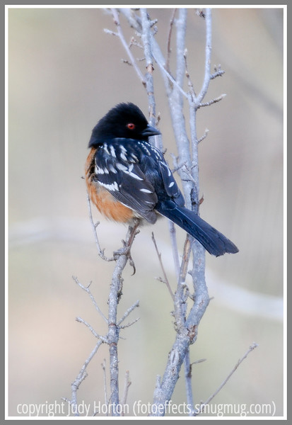 Day 35 - A rufous-sided towhee perches on a twig early on a somewhat foggy morning. Hope your day is great!  I look forward to your comments and to looking at sll of your fabulous and creative shots.