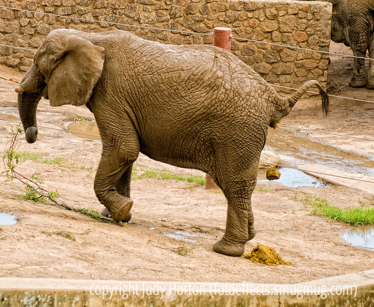 Caught in Mid-Poop! There's Just No Privacy In the World Anymore! - Photographed at the Cheyenne Mt. Zoo in Colorado Springs, this elephant is pooping.  I got several shots of this activity, but thought this one with the poop in midair was, perhaps, the funniest...if there is, indeed, anything funny about being a voyeur of this action.  This elephant was also eating and was in the act of stepping on the branch in order to break and tear it apart ot make it easier to consume.  Elephants are just so smart.  Thanks for all the comments on the fire pit pic.  Seems that you are roughly evenly divided about whether to clean it up or keep it.  I'll mull on it a bit more before deciding.  About the spot on her cheek.  I think that was just her rouge, which was not too even.