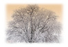 Day 127 - A large tree covered with hoarfrost; detail in this image can be best viewed in a larger size.  On our way to Estes Park, we encountered a thick foggy mist around and in Loveland. This tree was along the highway and I made Phil stop and I spent about 30 minutes shooting this tree from different perspectives.  The mist was dissipating by the time we got through Loveland, so it was a very transitory phenomenon.  I've been envying all of you who have had foggy and misty days to photograph, so I finally got my chance.  Let me know what you think of this one.  Thanks for your comments on my daily in Rocky Mt. National Park...you'll probably get a chance to see more of those shots.  I really enjoyed the crop of photos today...really a superior bunch of images you guys posted!  The Monday Challenge group really rose to the occasion and posted a great group of shots.  I'm going to post this early and hit the sack!