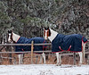 All dressed up and nowhere to go.  Best viewed in the largest sizes.  I've been meaning to use this as my daily for quite a while and it kept getting preempted by something else.  I liked the way both horses were in the same position with their spiffy coats!<br /> <br /> I was sure surprised at the warm response to my shot of the foggy morning in my garden.  Seems like there have been lots of better foggy shots than mine, but I still appreciate all the nice comments.  Makes me awfully good.<br /> <br /> Have a great Sunday!