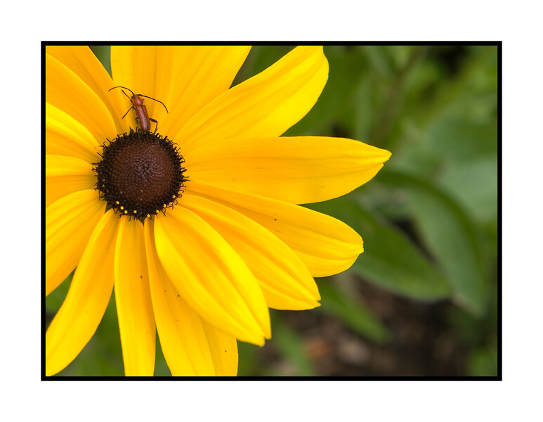 Don't know what this insect is on the gloriosa daisy, but I like its coloring.  View the detail in this image in the largest sizes.  Thanks so much for all the comments on the photo of the little girl with the flower.  I'm always amazed at what a supportive community this is.  I certainly enjoyed viewing and commenting on all your photos, as well.  Hope your week begins well!