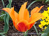 Tulip; best viewed in the largest sizes<br /> <br /> Thanks for your comments on my previous tulip pic.  Much appreciated.  I was in hog heaven this evening browsing through all your wonderful images.  So much talent in evidence!<br /> <br /> Have a great day!
