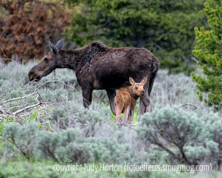 A mother moose seems unperturbed, while her baby looks over at all the people gathered to watch and photograph the pair as they forage in Grand Teton National Park in Wyoming; best viewed in the largest sizes.<br /> <br /> We just got back from our trip to the Grand Tetons and Yellowstone.  We did not have access to electricity where we camped, so I managed only to upload my files of photos each day to the laptop, but did not get any processing done at all.  No Internet access the entire time.  We had a great time, even though it was often cold and rainy.  We got two inches of snow one night.  I'm anxious to get back to looking at all your great shots.  Hope you like this one of the mother moose and her baby.  We saw them just as we were about to leave Grand Teton National Park.  I was able to watch and photograph them for about ten minutes and was not too far away.  Typically, the baby would let its mother get about fifteen feet away and then it would run at breakneck speed to catch back up to its mom.