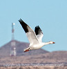 Snow goose in flight at Bosque del Apache; I liked this shot because of the telecom tower in the bg.  Otherwise, nothing really special.<br /> <br /> Thanks you so much for your warm response to my shot of the flying great blue heron.  It is amazing how patience eventually pays off with some good shots.  I stood watching that one heron for about two hours.  I took hundreds of shots of it and, probably, about ten are really pretty good.<br /> <br /> Have a great day!