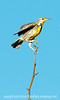 Western meadowlark, photographed at the Dancing Cranes Guest House in San Antonio, New Mexico, not far from Bosque del Apache National Wildlife Refuge.  Best viewed in the largest size.  The owners of the B&B have created a wildlife refuge on their property that attracts many different kinds of birds.<br /> <br /> Thank you for your comments on my shot of the snow goose in the air!  You guys are the best!<br /> <br /> Enjoy your Wednesday!