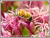 Day 2 - a bee drinks nectar from a flower; the detail of the bee and the pollen is best viewed in the largest sizes.  I took this in my garden last summer, and, as I'm longing for summer, I decided to post this one today.