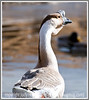 Day 87 - A close up of an unusual huge goose on a pond; this image is best viewed in a larger size; I don't know what kind of goose this is, so those of you who are more familiar with geese can, perhaps, tell me the species.  I took this photo a couple of weeks ago but just got it processed.  Thanks to everyone for their nice comments on my photo yesterday and all the kind wishes for success with the epidural cortisone shot.  I have to say it was not nearly as bad as I had anticipated...really, it did not hurt and took only a few minutes for the whole procedure.  It may take up to a week for the cortisone to take effect but I think I am a bit better today, so I'm very hopeful that this will fix my problem.  Have a great day, everyone!
