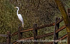 """An egret on a fence; best viewed in the largest sizes.<br /> <br /> Art and Joda answered the """"riddle"""" correctly: Charity begins at home.  Here is one more:<br /> """"Abstention from any aleatory undertakings precludes a potential escalation of a lucrative nature.""""<br /> <br /> Hope your day is grand!"""