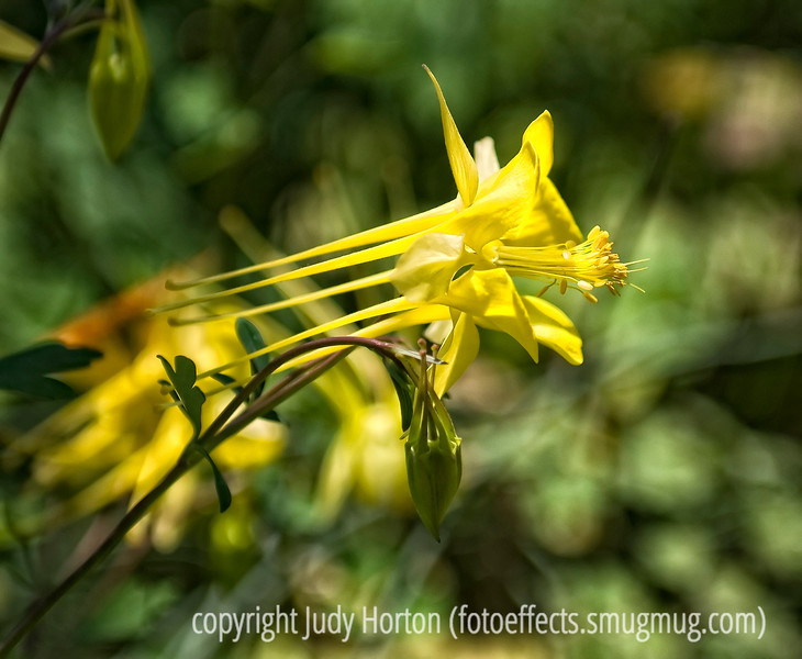 Yellow columbine; best viewed in the largest sizes.  I admit I like the detail and the light on this one.<br /> <br /> Thanks for the comments on the flying shot of the hawk.  I always appreciate that folks take the time to comment.  It really keeps me encouraged and inspired.