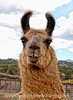 Llama; best viewed in the largest size.  I got this shot on the day we went to see the fall leaves.  On the way back from Cripple Creek, we always pass a llama farm.  Lots of the llamas were near the fence this time and I got a few shots.  I love this fella's sweet face.  He was quite curious about me and came up to see me.<br /> <br /> Thanks for the comments on my shot of the egret.  You folks are making me feel really good about taking the time to reprocess the Everglades shots.  <br /> <br /> Have a great day!