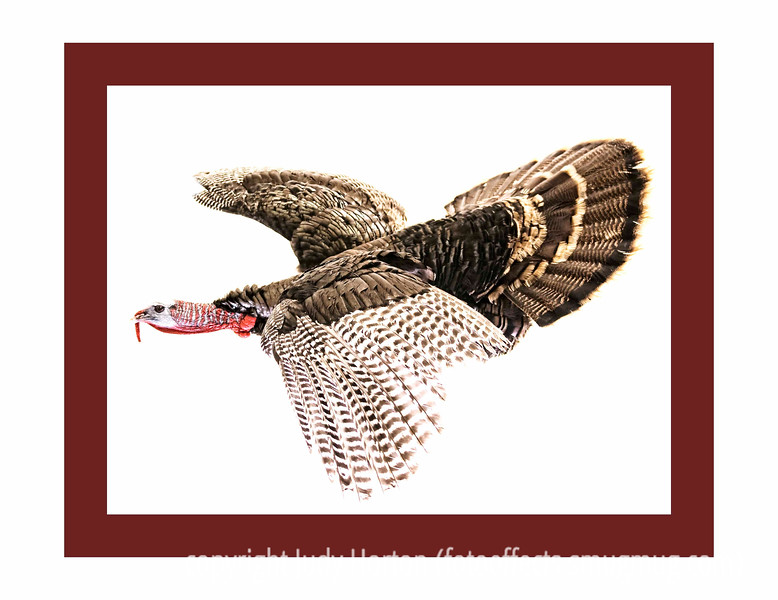 Day 136 - This turkey, unfortunately, was not alive when I shot it.  I had taken my grandson to his archery event and this bird was stuffed and mounted on the wall.  Since I have very little opportunity to shoot wild turkey, I took a photo and then removed the background in photoshop.  Let me know what you think of the image.  And, have a great day today.  I'll be having another epidural cortisone shot in my spine.  I'm hoping this one will get rid of the rest of the pain.