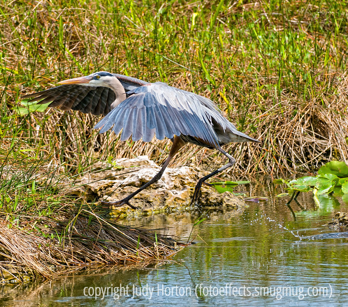 Great blue heron; best viewed in the largest size to see the feather detail and the details of the water drops off the bird's foot.<br /> <br /> I appreciated the comments on my shot of the autumn gambel oak leaves.  Thanks for taking the time.<br /> <br /> Have a terrific Sunday!