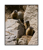 These three baby marmots are surveying their domain.  I had been watching and photographing the marmots for about an hour and they seemed quite comfortable and able to ignore me completely.  When I first arrived, an adult marmot issued a warning alert for quite a bit. The warning is a very high pitched and penetrating squeaking sound.  The main marmot colony is located in a lot of large boulders that were dumped near the bridge to support the soil along the roadbed.  But, they have expanded beyond that into the meadow below, where there are marmot tunnels every few feet.  The colony is quite close to the Arapaho Bay campground where we were camped.  This is near Granby Lake in Colorado.  I had never seen a marmot in real life before and I found them quite interesting.  View the detail on the three baby marmots in the largest sizes.  Golly, I'm amazed by the response to my daily yesterday of the sun shining through holes in the clouds.  A number of you indicated that you, too, are constantly jumping out of your cars to take photos.  I was just really lucky to be out and about so that I saw those rays as they came through the clouds.  Thanks, folks, for taking the time to comment on the shot.