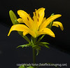 Asiatic lily; best viewed in the largest sizes<br /> <br /> I photographed this outside the Denver Art Museum on a very bright day.<br /> <br /> Thanks so much for all the nice comments on my shot of the hot air balloon.  I do love balloon festivals, but this year I don't think I got as many nice shots as I did last year.  There were more balloons last year and with no wind, they hung in the air overhead after they ascended.  This year there was a lot of wind aloft and so they moved off quickly and there were never that many in the sky at the same time.  Also, last year there were clouds.  This year there wasn't a cloud in the sky.  Still, I think I got some nice shots.<br /> <br /> Friday already!  Seems like it was just Labor Day.  Hope your week went well and you are ready for another weekend.